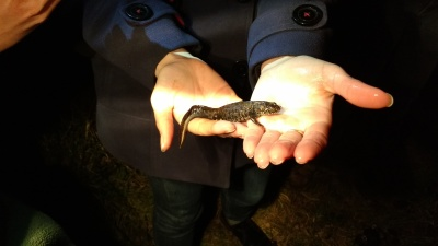 Male Great Crested Newt