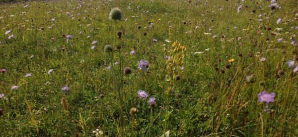 Chalk grassland meadow, Lydden